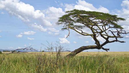 Akazien auf dem afrikanischen Savanne. Serengeti Nationalpark, Tansania Standard-Bild