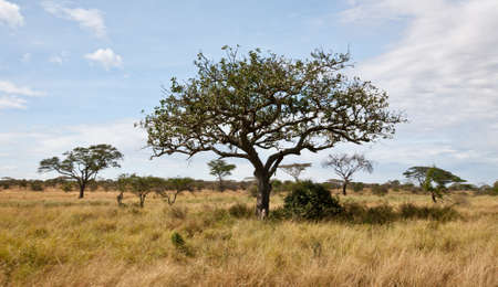 Acacia trees on the African Savanna. Serengeti national park, Tanzania Imagens