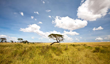Acacia trees on the African Savanna. Serengeti national park, Tanzania Stock Photo - 16329216