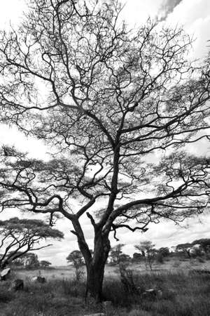 acacia tree: A large Acacia tree with crazy limbs in black and white. Serengeti National Park, Tanzania Stock Photo