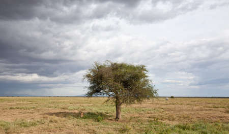Acacia trees on the African Savanna. Serengeti national park, Tanzania Stock Photo - 16329349