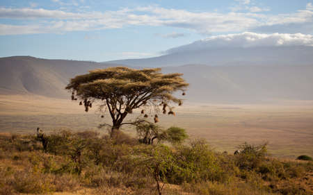 weaver: Weaver nests on an Acacia tree in the Ngorongoro Crater Stock Photo
