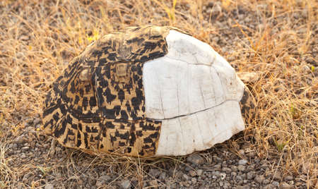 The shell of a Leopard Tortoise lies on the savanna. Serengeti National Park, Tanzania
