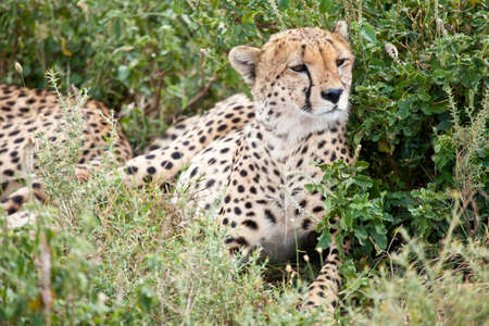 An adult cheetah lounges in the midday heat. Serengeti National Park, Tanzania