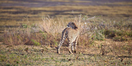 next horizon: An adult cheetah scans the horizon for its next kill. Serengeti National Park, Tanzania Stock Photo