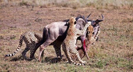 Ein Erwachsener Wildebeest wird angegriffen und von drei männlichen Geparden getötet. Serengeti National Park, Tansania