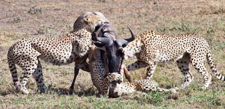 An adult Wildebeest is attacked and killed by three male cheetahs. Serengeti National Park, Tanzania photo