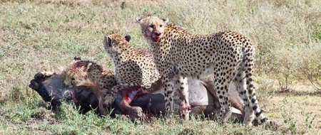 attacked: An adult Wildebeest is attacked and killed by three male cheetahs. Serengeti National Park, Tanzania