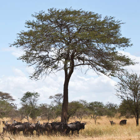 Herds of Wildebeest cross the Serengeti during the Great Migration  Serengeti National Park, Tanzania Stock Photo
