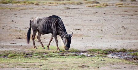 bovid: Herds of Wildebeest cross the Serengeti during the Great Migration  Serengeti National Park, Tanzania Stock Photo