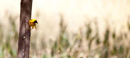 A Masked Weaver perched in an Acacia tree. Serengeti National Park, Tanzania