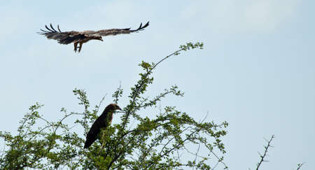 A Tawny Eagle comes in for a landing on the branches of an Acacia Tree. Serengeti national Park, Tanzania photo