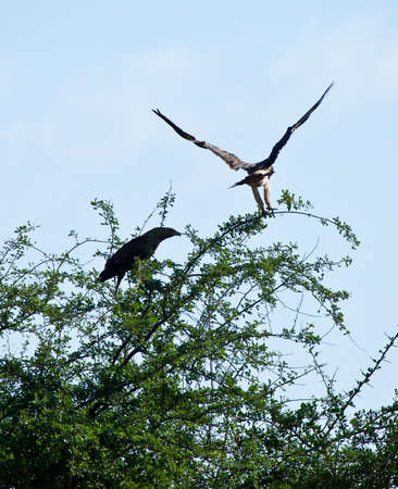 A Tawny Eagle comes in for a landing on the branches of an Acacia Tree