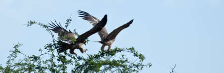 acacia tree: A Tawny Eagle comes in for a landing on the branches of an Acacia Tree. Serengeti national Park, Tanzania