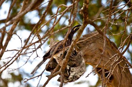 An African Grey Hornbill in an Acacia Tree