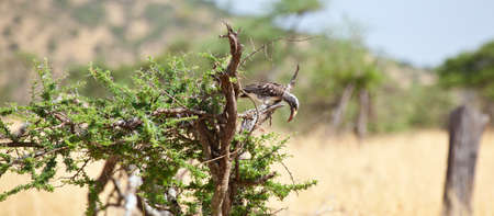 An African Grey Hornbill in an Acacia Tree. Serengeti National Park, Tanzania photo