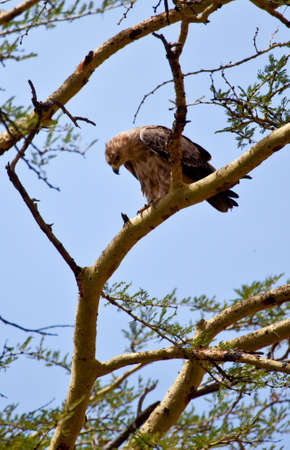acacia tree: A Tawny Eagle perches in the branches of an Acacia tree. Serengeti National Park, Tanzania