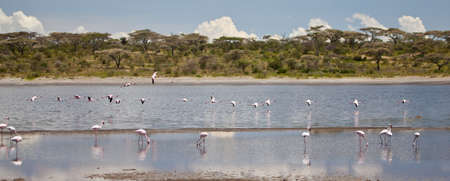 wobble: Flamingo wobble their legs as they look for the shell fish that give them their color. Serengeti national Park, Tanzania Stock Photo