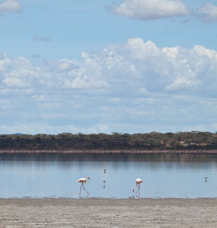 wobble: Flamingo wobble their legs as they look for the shell fish that give them their color  Serengeti national Park, Tanzania Stock Photo