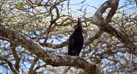 acacia tree: A Long-Crested Eagle searches for prey from the branches of an Acacia tree  Serengeti National Park, Tanzania