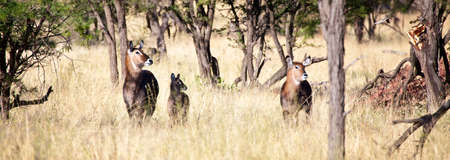 tanzania antelope: Waterbucks scan for danger on the Savannah. Serengeti National Park, Tanzania