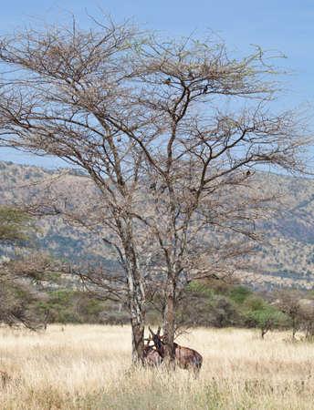A Topi stands with his head between two Acacia Trees. Serengeti National Park, Tanzania Stock Photo