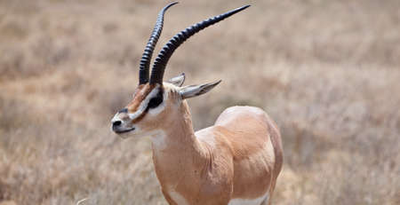 Portrait of a Grants Gazelle. Serengeti National Park, Tanzania 版權商用圖片