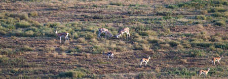 grants: Two Male Grants Gazelles square off for the fight during the mating season. Serengeti National Park, Tanzania Stock Photo