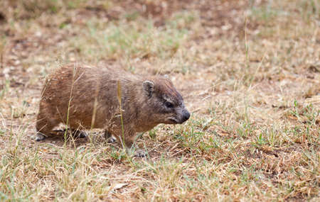 pachyderm: The somewhat smaller pachyderm, the rock hyrax. Serengeti National Park, Tanzania