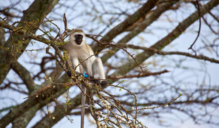 curiously: Black-Faced Vervet monkey curiously checks out the camera. Serengeti National Park, Tanzania.