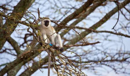 curiously: Black-Faced Vervet monkey curiously checks out the camera. Serengeti National Park, Tanzania.