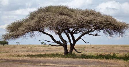 A large acacia tree with a safari vehicle in the background  Serengeti National Park, Tanzania Stock Photo