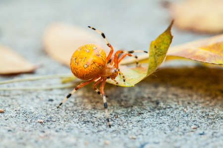 A macro shot of an Orange Marbled Orb Weaver spider on a fall leaf  North Carolina Stock Photo - 18573416