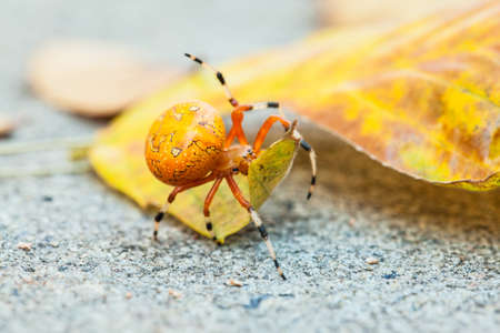 orb weaver: A macro shot of an Orange Marbled Orb Weaver spider on a fall leaf  North Carolina Stock Photo