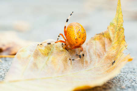 A macro shot of an Orange Marbled Orb Weaver spider on a fall leaf  North Carolina Stock Photo - 18573414