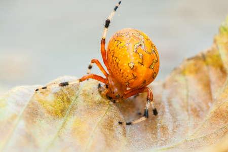 A macro shot of an Orange Marbled Orb Weaver spider on a fall leaf  North Carolina Stock Photo - 18573415