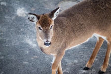 A white tailed deer looks up into the camera  Snowshoe, WV