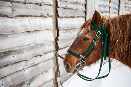 A horse with bridle stands next to a weathered barn ready to be stabled after a winter ride. Snowshoe, WV Reklamní fotografie