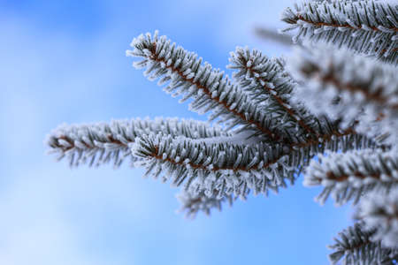 west virginia trees: A macro shot of a pine tree covered in frost and snow. Snowshoe, WV Stock Photo
