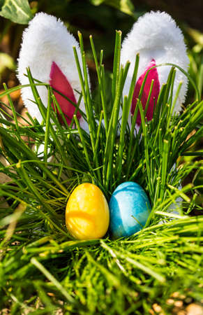 easter egg hunt: The Easter Bunny hides behind a tall bunch of grass where Easter Eggs are hidden. Holiday tradition.