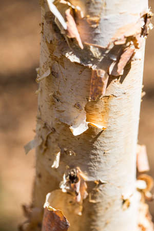 bark peeling from tree: A Birch tree sheds its bark with the arrival of spring. Stock Photo