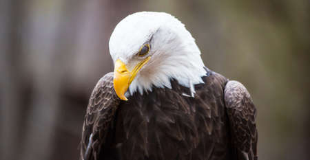 intimidating: A blad Eagle blinks but looks like he is hangning his head in prayer.