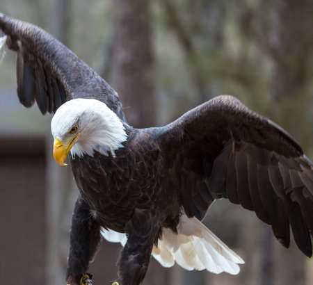 A beautiful American Bald Eagle as it searches for prey. photo