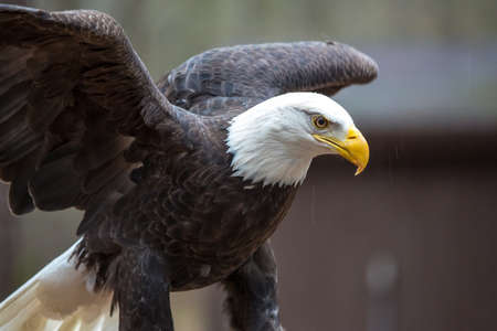 A beautiful American Bald Eagle as it searches for prey. Stock Photo - 20226973