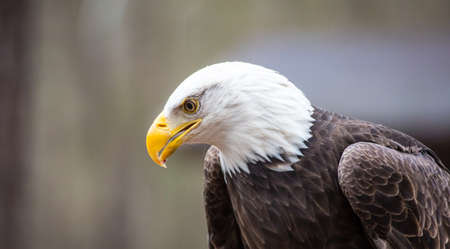 intimidating: A beautiful American Bald Eagle as it searches for prey. Stock Photo