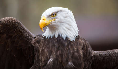 A beautiful American Bald Eagle as it searches for prey  photo