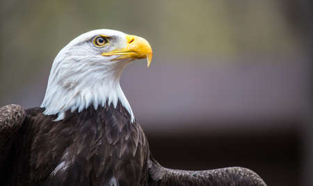 intimidating: A beautiful American Bald Eagle as it searches for prey  Stock Photo
