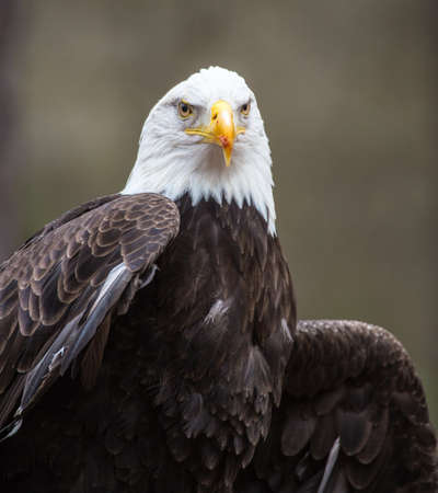 A beautiful American Bald Eagle as it searches for prey  版權商用圖片