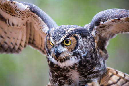 raptor: A Great Horned Owl in flight. Carolina Raptor Center.