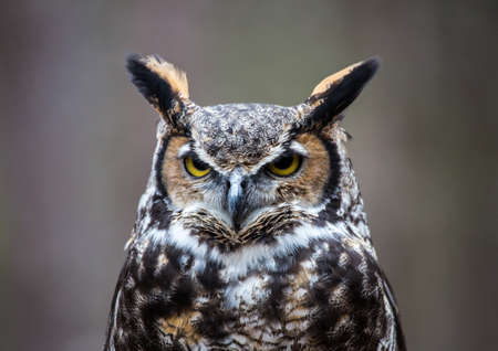 A Great Horned Owl looks into the distance as he searches for his next meal.